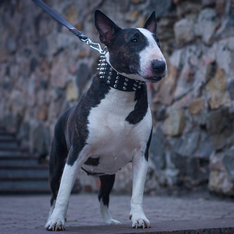 Collier de qualité de chien bull terrier 2 ans «Haute nouveauté»