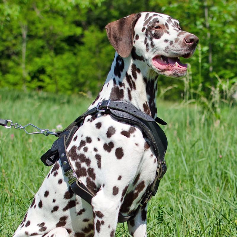 Harnais pour dalmatien chien d'attaque «Promenade